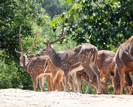Axis deer(spotted deer) & sambar deer(Philippine deer) in a forest of India. photo