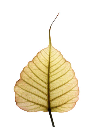 pipal: Heart shaped peepal or pipal tree leaf isolated on white with clipping path. The new & fresh leaf shows network on veins illuminated by sunlight from the backside