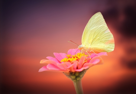 amazing white butterfly on pink zinnia flower with sky background. The scientific name is Pieris rapae and the fly & flower  photo