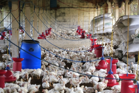 Rural poultry farm with young white chicks bred for chicken meat. This small scale industry is situated in south indian rural countryside and is crowded with white birds