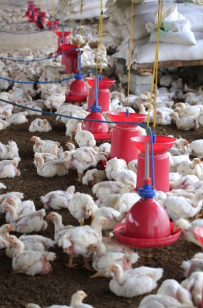 livestock sector: Poultry farm with young white chicken being bred for meat. This small scale industry is situated in south indian rural countryside and is crowded with white chicks Stock Photo