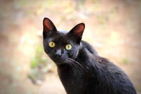 hazel eyes: Hermoso gato negro con ojos verdes expresivos mirando a la c�mara