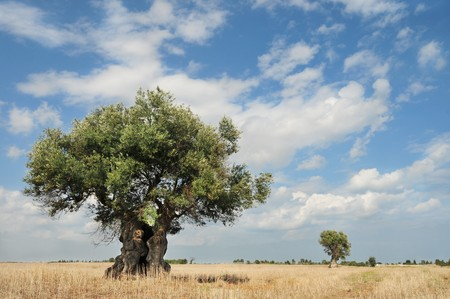 Two olive trees against bright summer sky