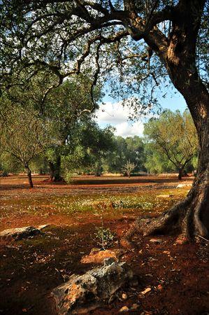 Zonnige dag in de olijf tuin met bomen, stenen en bloemen
