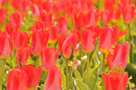 A field of red tulips photo