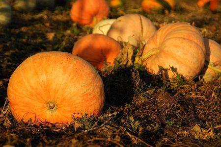 Big orange pumpkins in the field photo