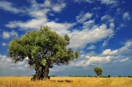Olijfbomen in het veld tegen levendige hemel met wolken