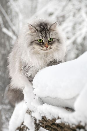 Domestic long hair cat sitting on the snow photo