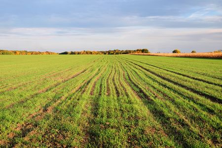 winter wheat: Landscape with sprouts of winter wheat in the field  Stock Photo