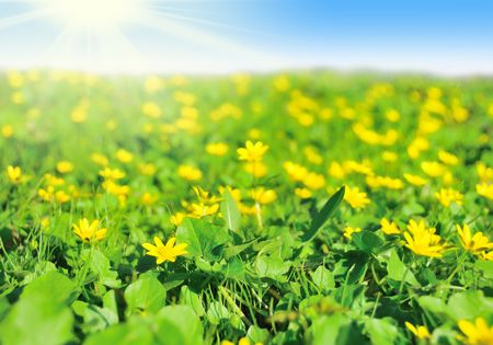Field of yellow spring flowers against blue sky and sun Stock Photo - 6845439