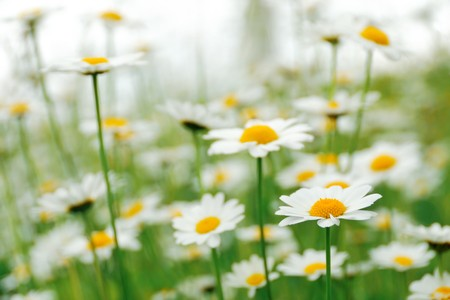 Background with tender camomile flowers in the field Stock Photo - 7163942
