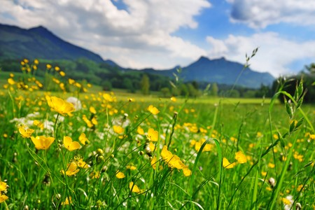 Alpine meadow with yellow flowers and green grass with Alp Mountains on the background Stock Photo - 7163948