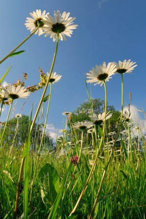 Meadow with alpine grass and camomiles against blue sky Stock Photo - 7163950