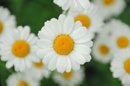 Wild daisy flowers background, top view Stock Photo - 7222256
