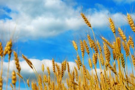 Gouden tarwe veld tegen blauwe hemel met wolken  Stockfoto