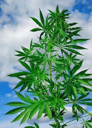 大麻植物の雲と青空の背景
