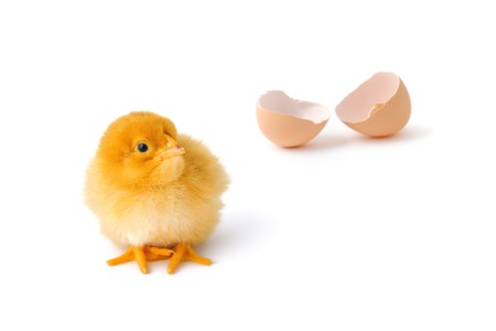 Cute baby chicken with the egg-shell at background Stock Photo