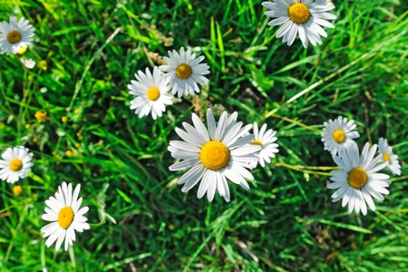 Daisy flowers and green grass, top view Stock Photo - 7576719
