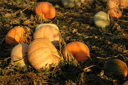 Field with ripe pumpkins in September, beautiful evening light photo