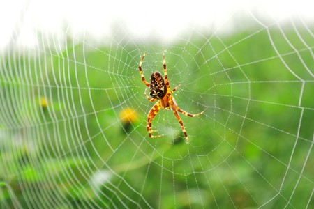 Cross spider in his web with water drops in the morning