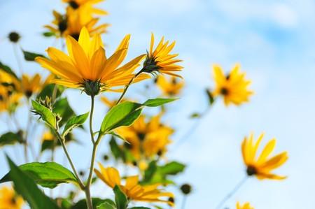 Topinambur, or sunflower yellow flowers against blue sky photo