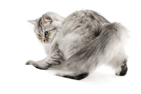 Excited gray fluffy cat playing isolated on white