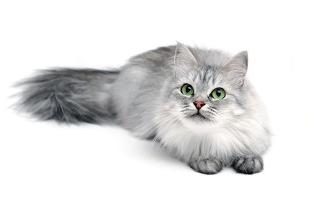 Grey long-hair cat with green eyes, focus on face photo