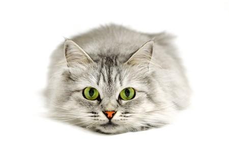 Close-up portret van een kat voordat springen op zoek naar de camera