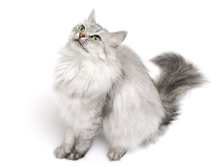 Pretty grey long hair cat looking up isolated on white, focus on face Stock Photo