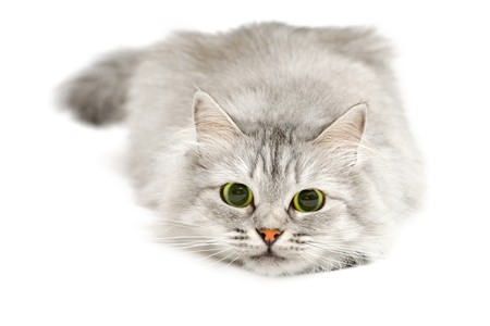 dilated pupils: Excited cute cat with dilated pupils before jump Stock Photo