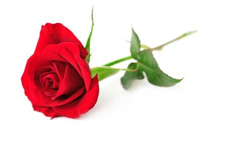 白い背景で隔離された単一の赤いバラの花