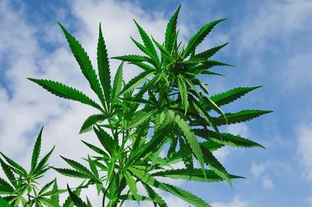 Helder groene wietplant tegen blauwe hemel