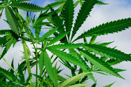 Groene bladeren van een cannabisplant tegen hemel