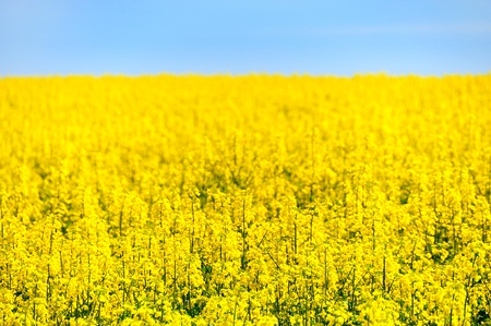 Yellow rape field and blue sky Stock Photo - 8439814