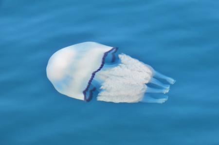 Beautiful jellyfish in the Ionian Sea water Stock Photo - 8554462
