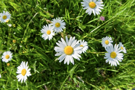 Daisy flowers and green grass, captured from above Stock Photo - 8679478