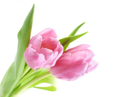 tulip  flower: Fresh pink tulips with green leaves isolated on white