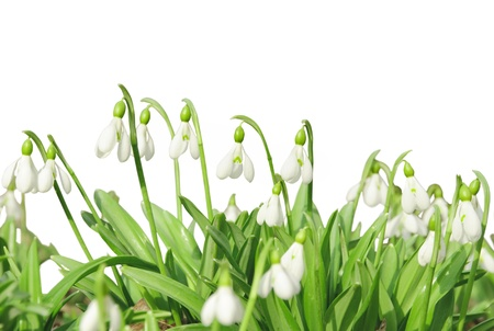 First spring flowers, snowdrops, isolated on white background