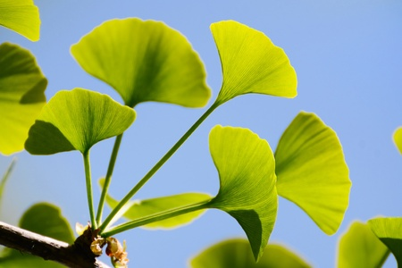 Gingko Biloba leaves on the tree illuminated by sun photo