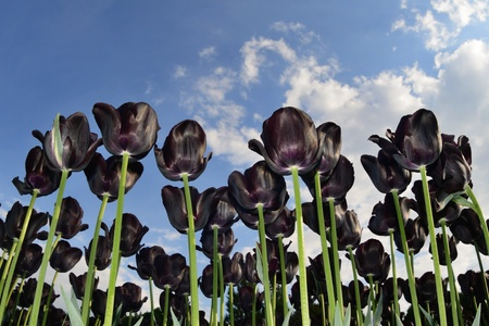Beautiful black tulips against blue sky with clouds Stock Photo