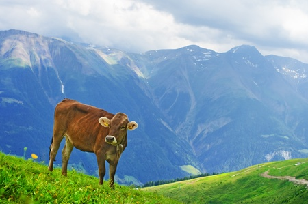 domestic scene: Cow grazing in an Alpine meadow in Switzerland Stock Photo