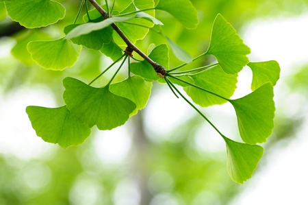 Natural background with leaves of gingko biloba tree