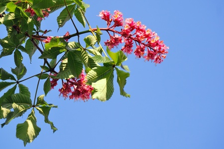 Blooming red chestnut against blue sky Stock Photo