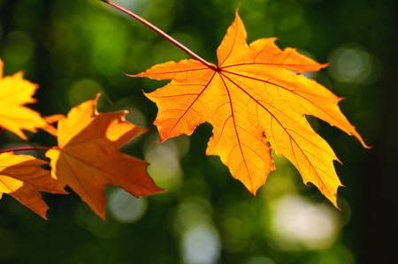 First fall colored maple leaves in the park on the background of yet green foliage photo