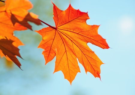 backlit: Golden maple leaf against azure autumn sky Stock Photo