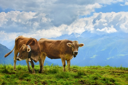 Cows grazing in the Alpine meadow high in the mountains in Switzerland Stock Photo - 10659685