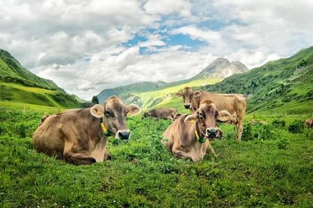 Brown koeien in de Alpenweide hoog in de bergen Stockfoto