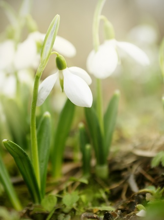 mud and snow: Beautiful tender snowdrops just blown in the early spring