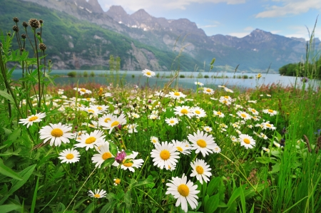 Alpine meadow with beautiful daisy flowers near a lake in the maountais