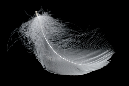 falling feather: Beautiful tender white swan feather isolated on black background Stock Photo